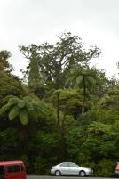 The tree top of Tane Mahuta